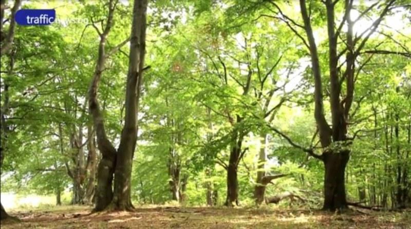 Изсичат вековна букова гора край Буново, заедно с дърветата изчезва и водата