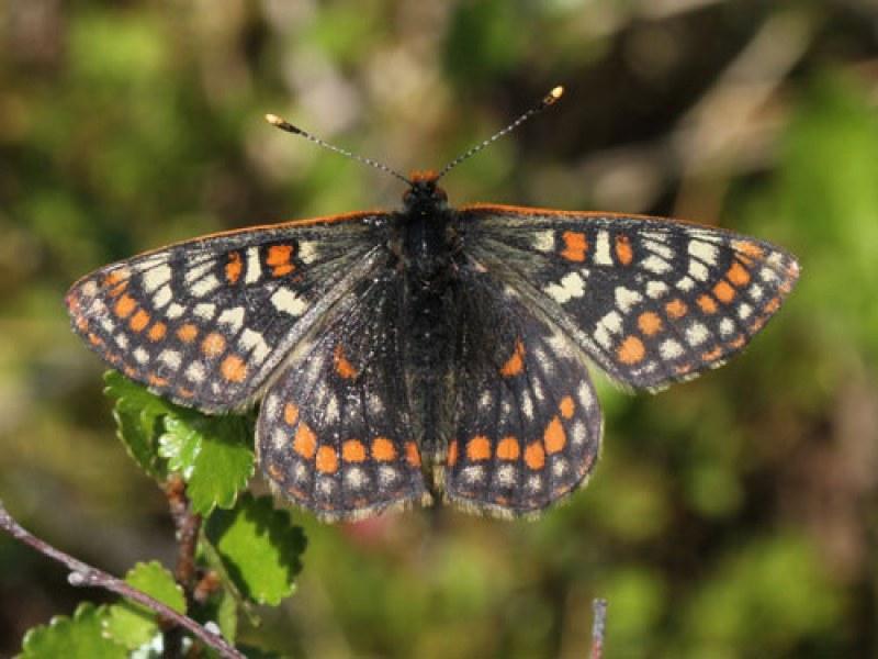 За първи път от 50 години: Пеперуда от ледниковата епоха откриха в Турция