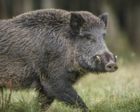 Свинската чума покоси трето прасе в Благоевградско