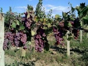 Колекционери резервират вина от реколта 2019
