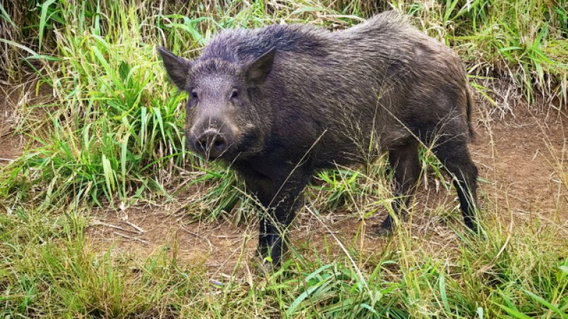 Диви прасета тормозят стотици души в Габрово