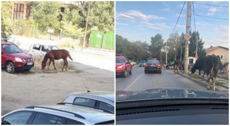 Крави и конче стряскат шофьорите в столичния квартал