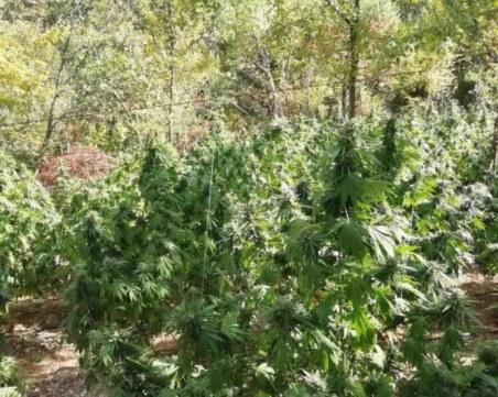 Над 11 тона марихуана иззеха при спецакция в Благоевград