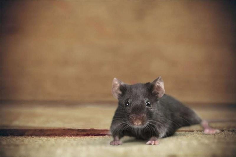 Мишка падна върху журналист от тавана на Белия дом