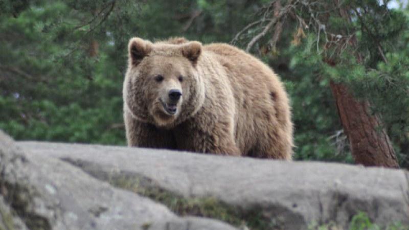 Свръхпопулация на диви мечки в Румъния, разрешават лова