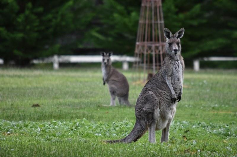 Тийнейджър нарочно прегази 20 кенгурата в Австралия