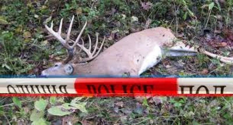 Застреляха благороден елен, извършителят го грози затвор