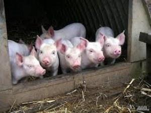 Разрешават до три прасета в задния двор, до 200 в семейните фирми