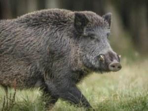 Нов случай на диво прасе с африканска чума в Ловешко