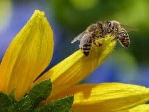 Забраниха четвърти пестицид, опасен за пчелите и хората