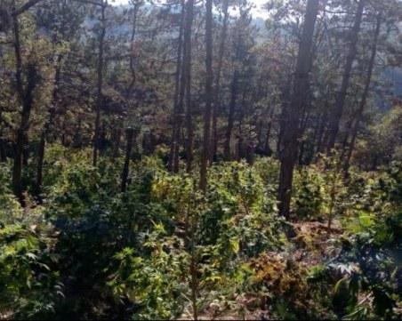 Откриха над 4 тона канабис в нива край Сандански