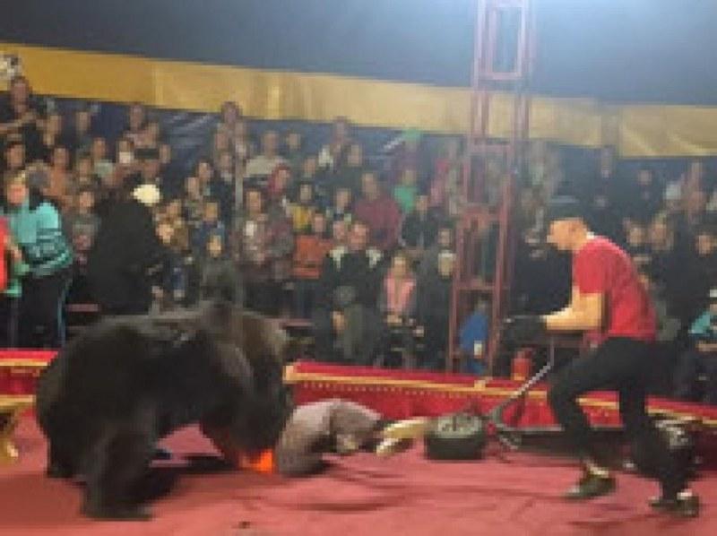 Циркова мечка нападна дресьор пред погледа на десетки зрители