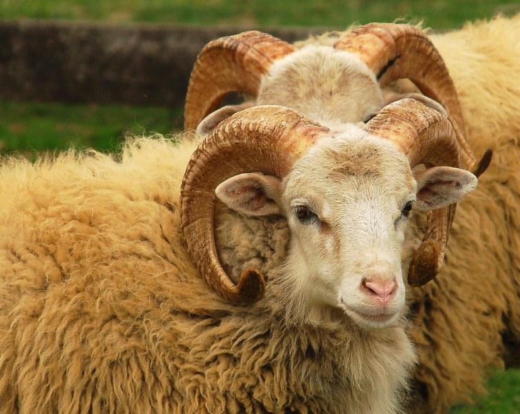 Овен нападна и уби пастир в Кърджалийско