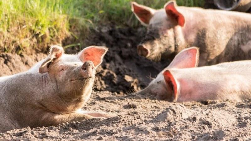 Бият инспектор от БАБХ, докато умъртвява укрити прасета
