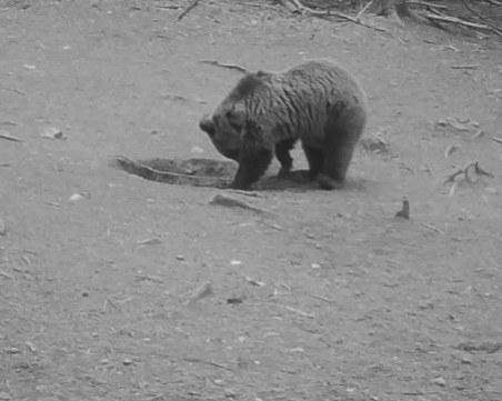 Само за месец: Шест случая на набези на мечки в Смолянско