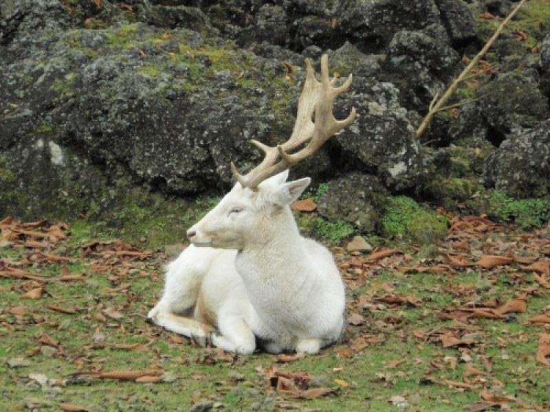 Бял елен слезе от Балкана, изненада жителите в Карловско