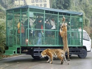 Зоопарк в Китай поставя посетителите в клетка, а животните се разхождат свободно