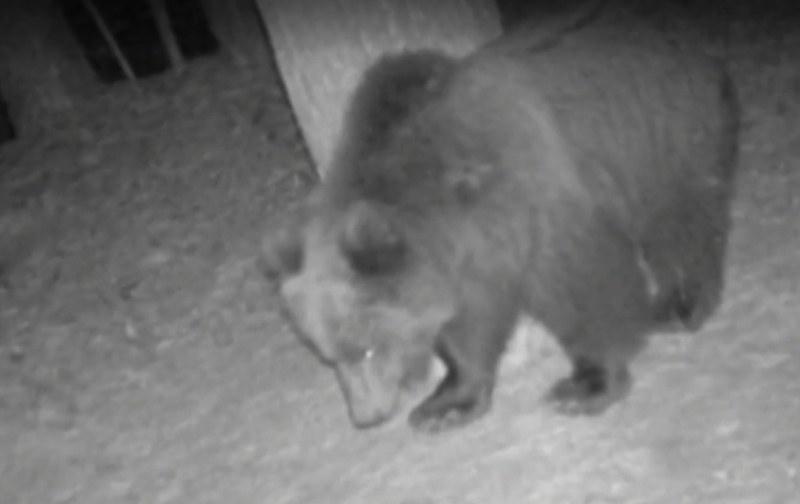 Нахапаният от мечка мъж е стабилизиран