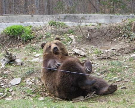 Мечокът Веско заживява нов живот след 9 години, мести се в парка