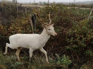 Белият елен, в който се влюбиха карловци, продължава да обикаля Подбалкана