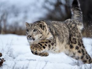 Застрашен вид снежен леопард изненада управата на китайски резерват