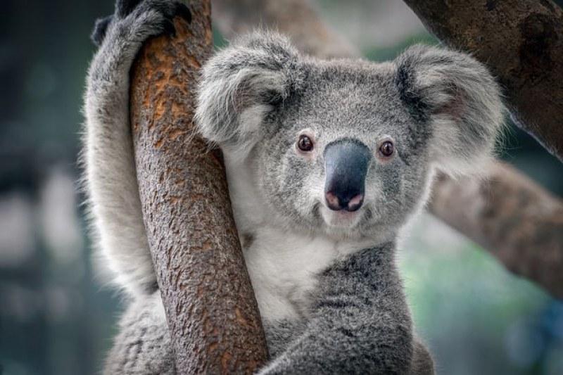 Жена рискува живота си, за да спаси коала от пожарите в Австралия