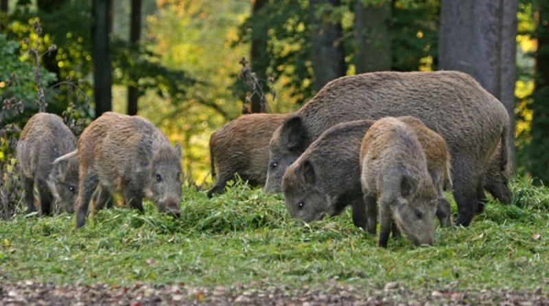 Свинската чума стигна на 85 км от германската граница