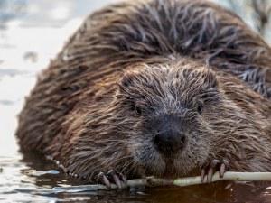 Бобри ще спасяват Англия от наводненията