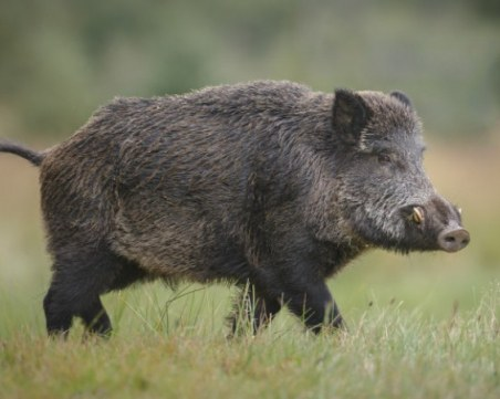 Първи случаи на африканска чума по диви свине в Кюстендилско