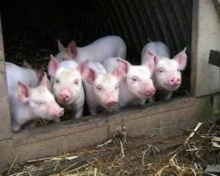 Престрашиха се! Ферма купи първите 500 прасета след чумата
