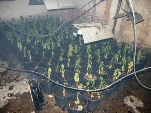 Наркооранжерия, маскирана като дърводелски цех, откриха в Панагюрище