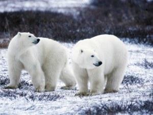 56 бели мечки в опасна близост до руско село