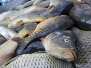 Унищожават 217 кг риба без документи, установена при проверките за Никулден