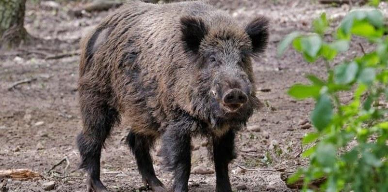Два нови случая на чума по свинете в Ловеч