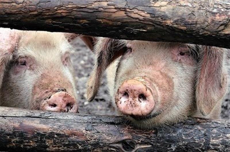 Стотици животни загинахa при пожар в свинеферма