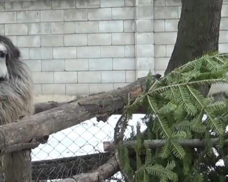 Непотребни коледни елхи хранят животните в зоопарка във Варна