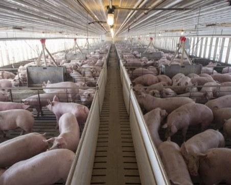 Ново огнище на Африканска чума по свинете, отцепват зоната около фермата