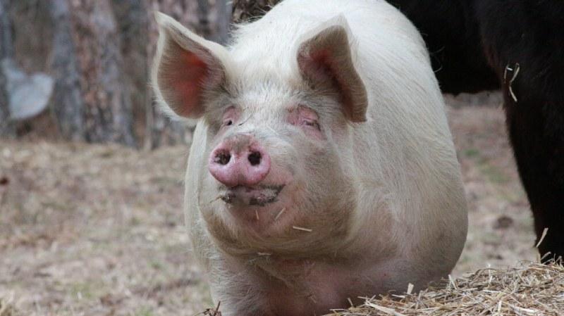 Нов случай на африканска чума по свинете във ферма в Шуменско