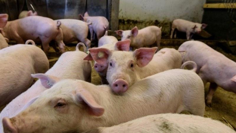 Започва умъртвяването на 24 000 прасета в Шуменско