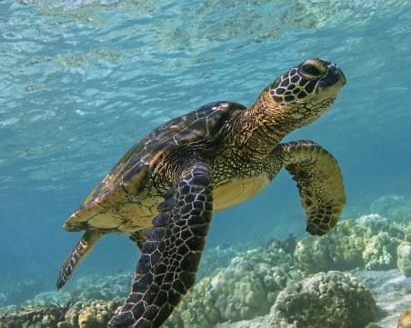 Близо 300 морски костенурки загинаха заради паразит край Мексико