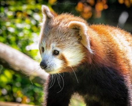 Червен панда беглец! За втори път Къш изчезна