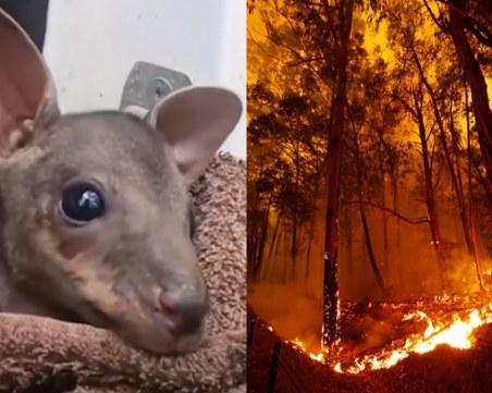 Фермер спаси бебе кенгуру от пламъците в Австралия