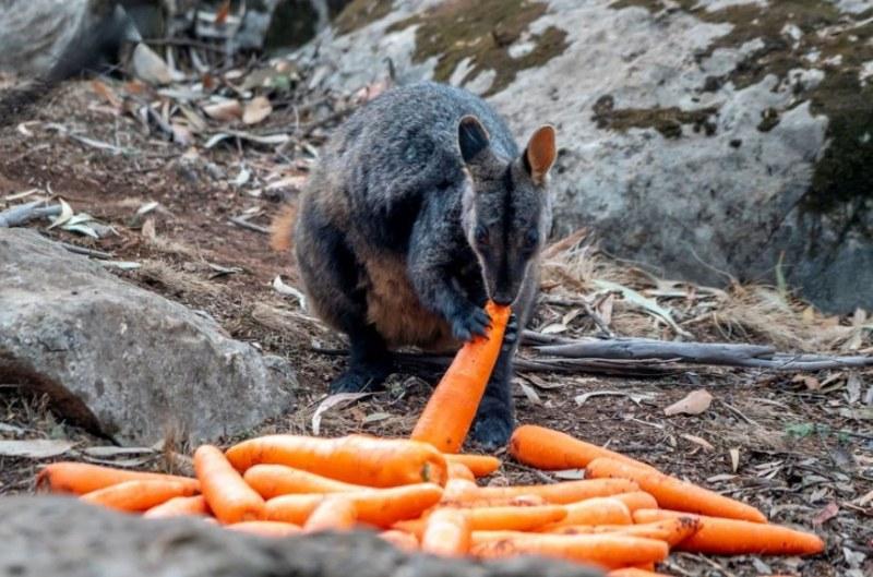 Изсипаха тонове храна от хеликоптер за бедстващите животни в Австралия