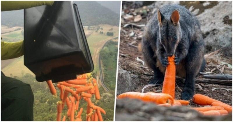 Самолети доставят хиляди килограми моркови и картофи за животните в Австралия