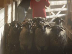 180 овце, спасени при потъването на кораб в Румъния, живеят втори живот