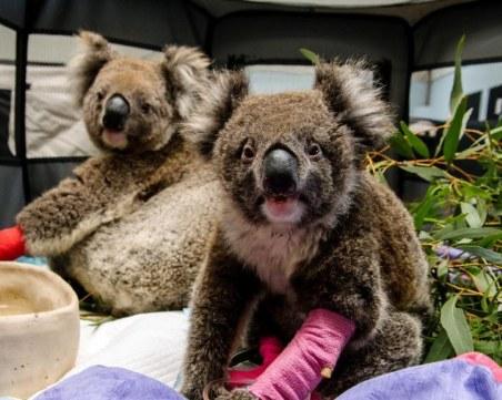 SOS коала! Базар в столицата помага на животни, пострадали при пожарите в Австралия