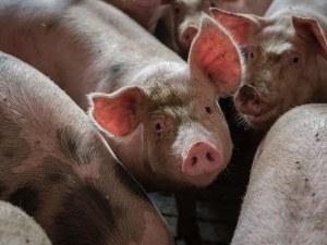 Гигантски свине изядоха фермер в Полша