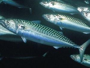 Рибари алармират: Черноморската скумрия изчезва!