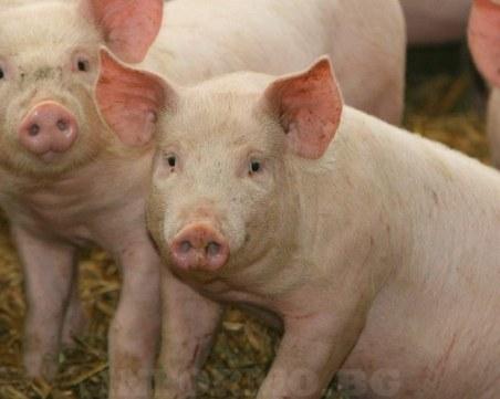 Отменят забраната за движение на свине и месо в 39 ферми и 66 кланици