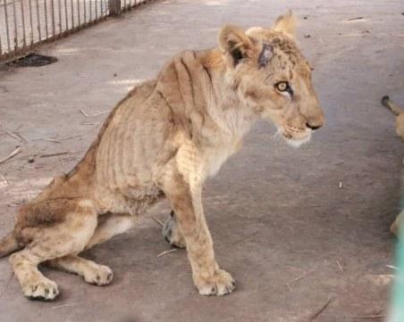Недохранени лъвове в зоопарк шокираха света, българи се включват в спасяването им